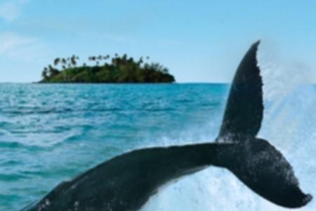 Tanec s keporkakmi: Zažite veľrybie pytačky v karibskom raji
