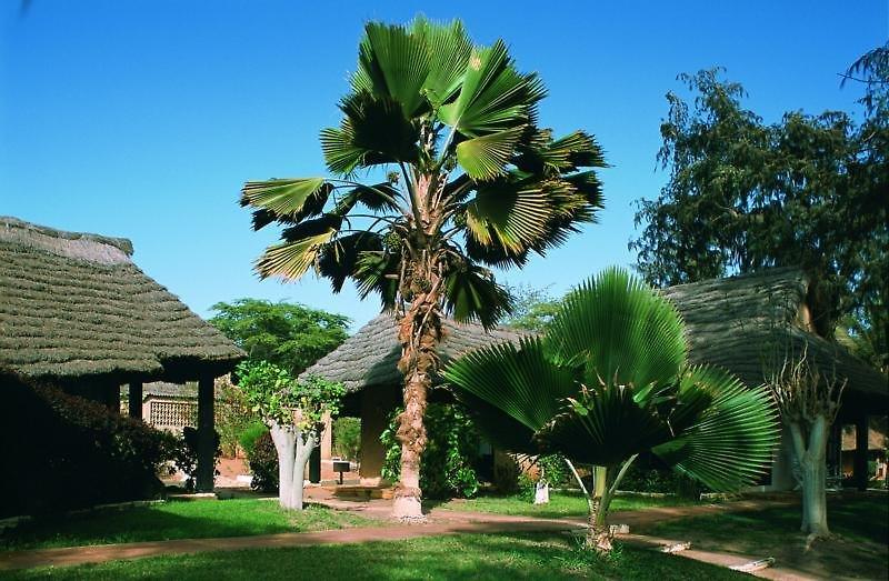 Royal Horizons Baobab