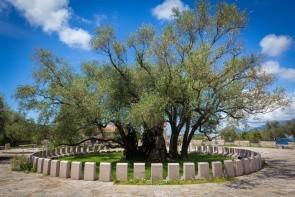 Starý olivovník