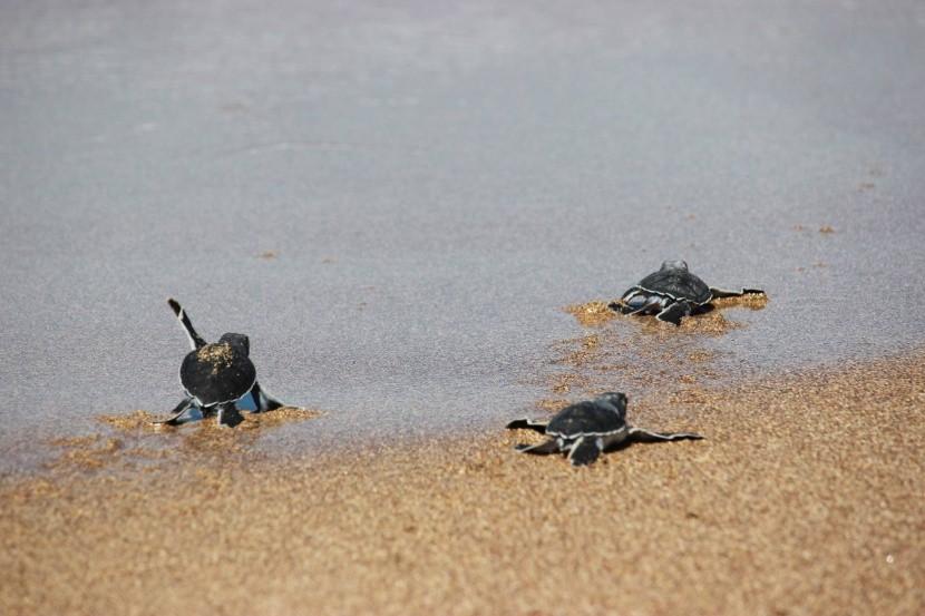 Észak-Ciprus tengerpart cserepes teknősök