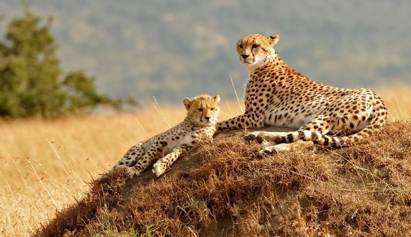 Gepardy v Masai Mara