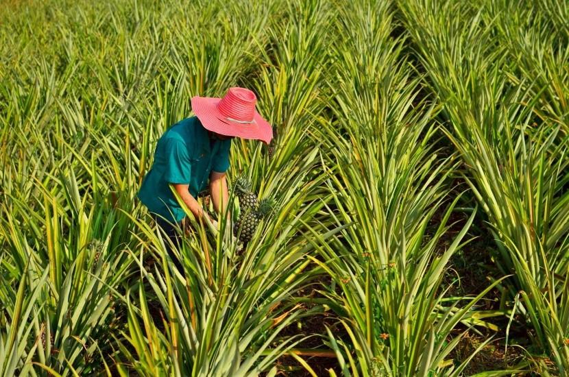 Ananasové plantáže