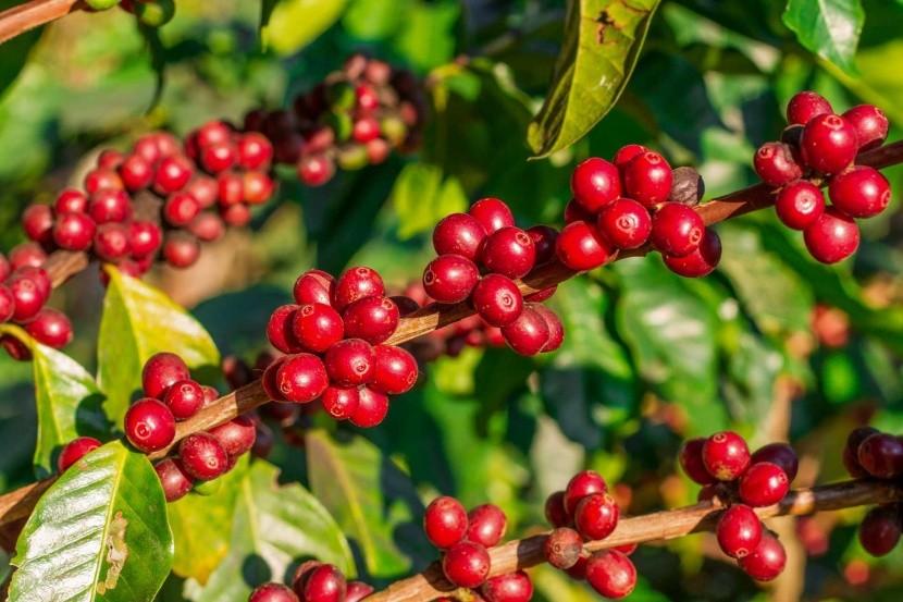 Plody kávovníku připravené ke sklizni
