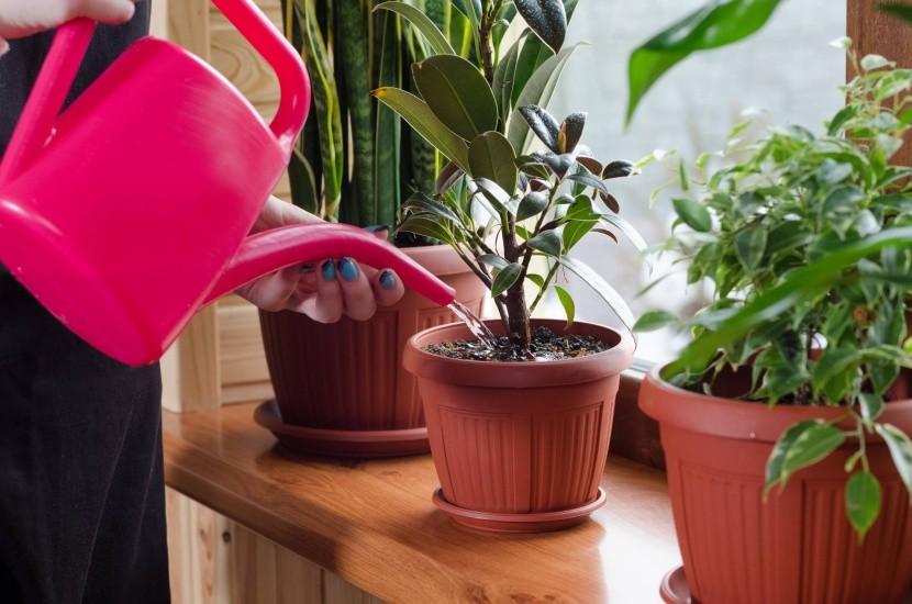 szobanövény növény virág öntözés locsolás