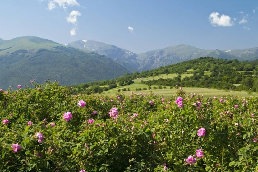 Růžové plantáže v Bulharsku