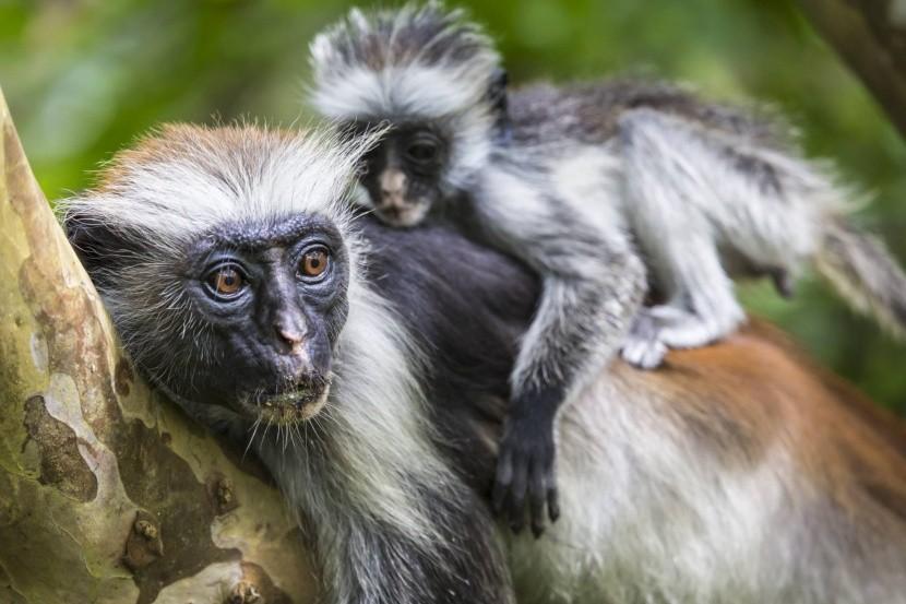 Typičtí obyvatelé Zanzibaru, opice