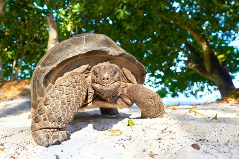 Obria korytnačka na Seychelách