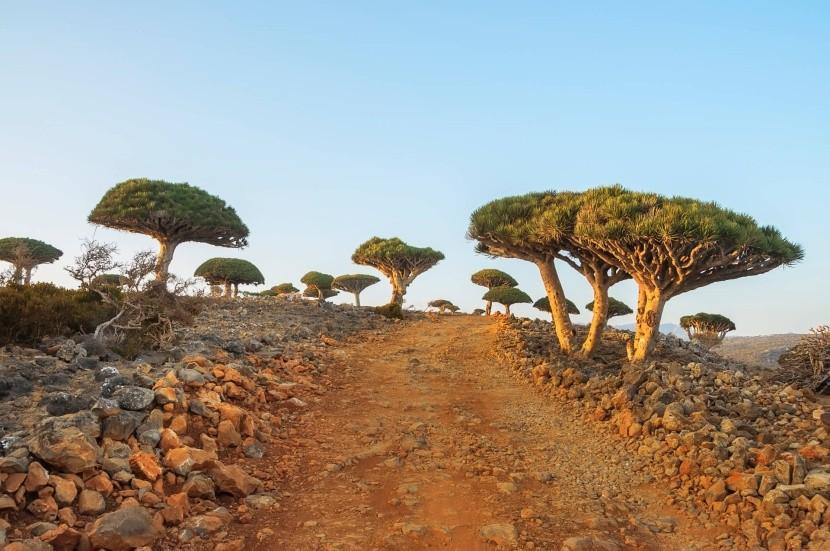 Stromy dračí krve na Sokotře