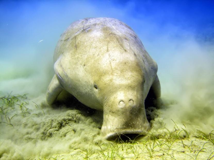 Tengeri füvet legelő dugong