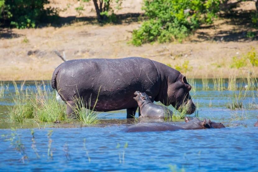Hrošia rodina pri rieke Okavango, Botswana