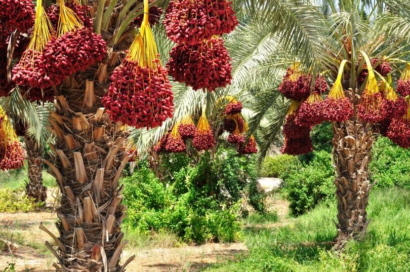 Datolyapálmák az Emirátusokban