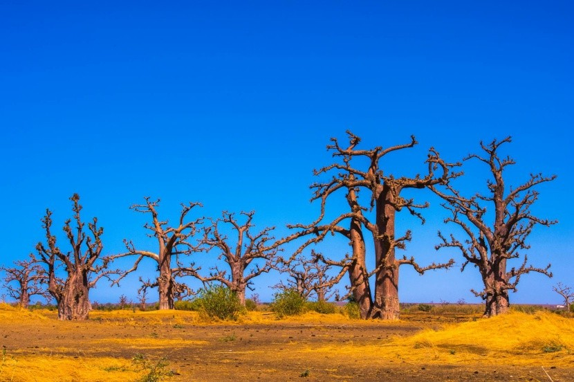 Baobaby v Senegalu