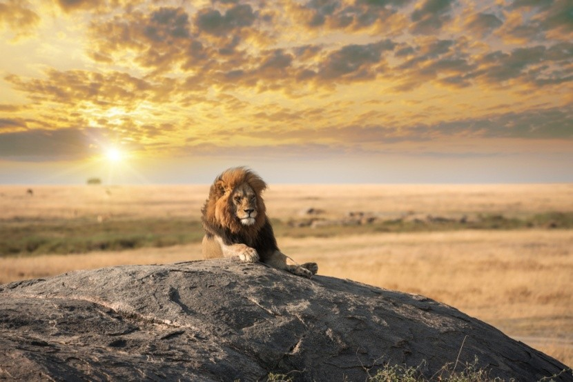 Lev, kráľ zvierat
