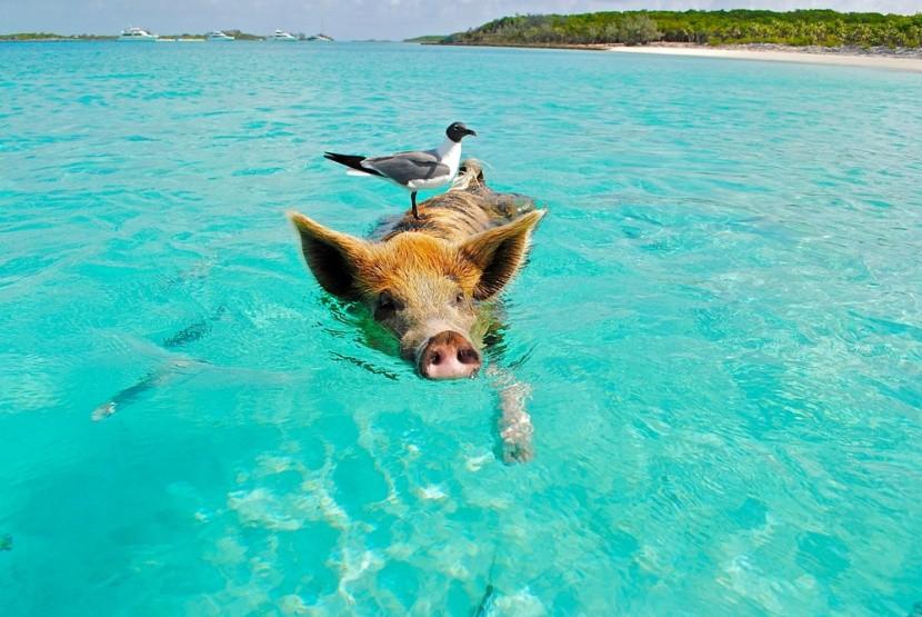 Strandolás a Bahamákon; disznó és sirály.