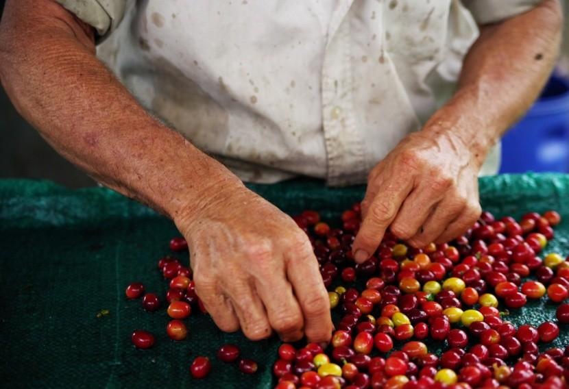 Az etióp kávébabok átvizsgálása