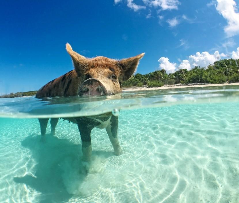 Úszó malac a Bahamákon