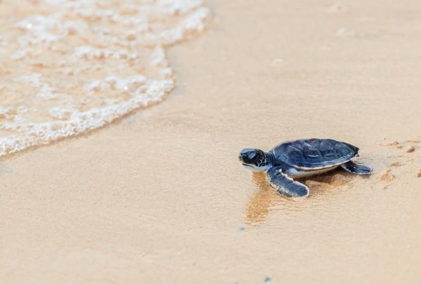 Korytnačka na Shell Beach, Guyana