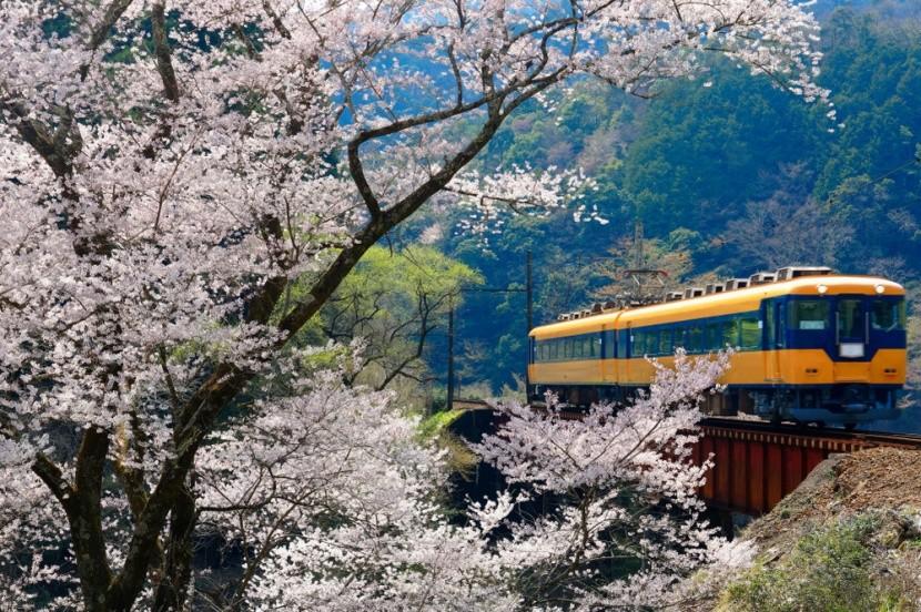Japán cseresznyevirágzáskor