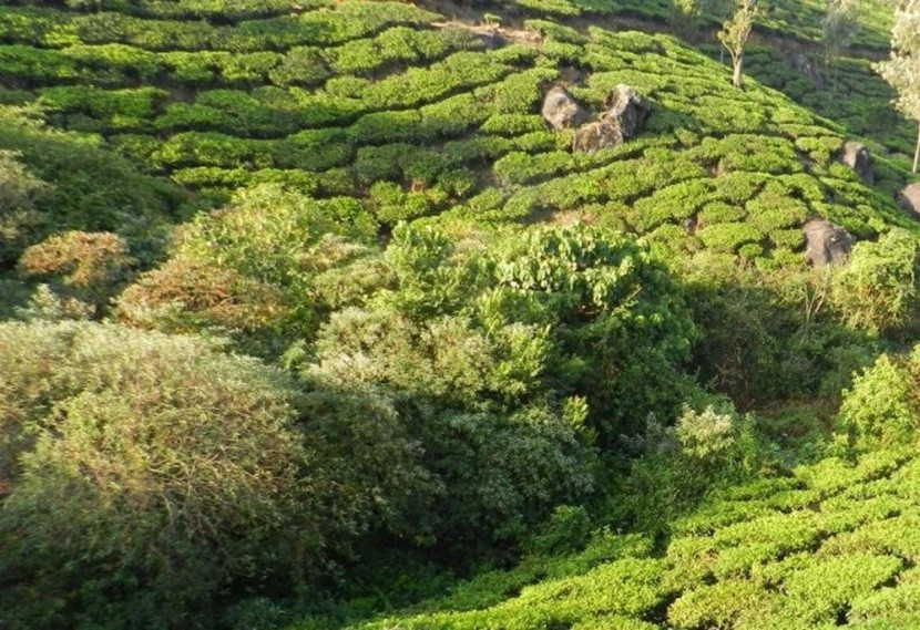 Munnar, plantacje herbaty