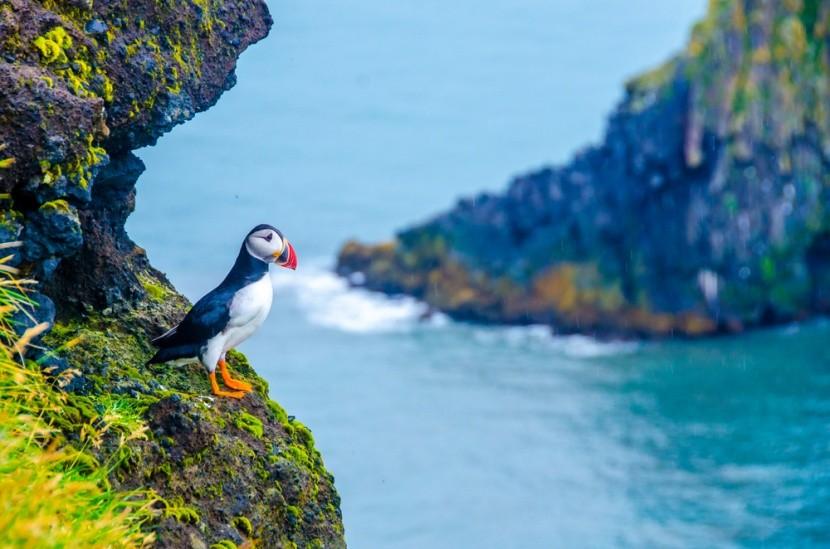 Lunda madár Izlandon