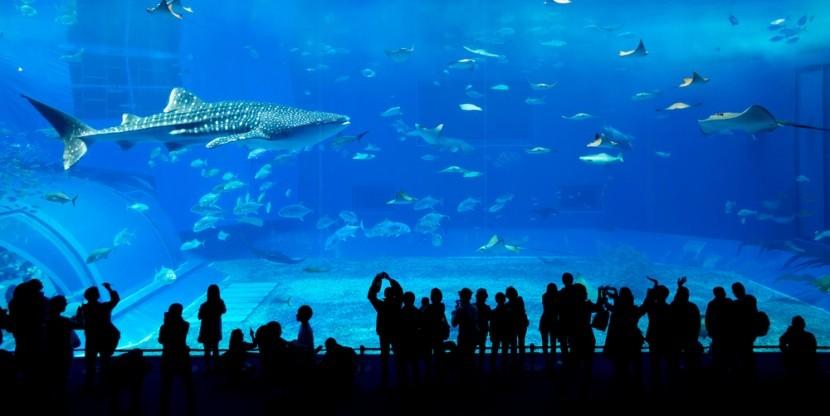 Žralok velrybí v akváriu v Dubaji