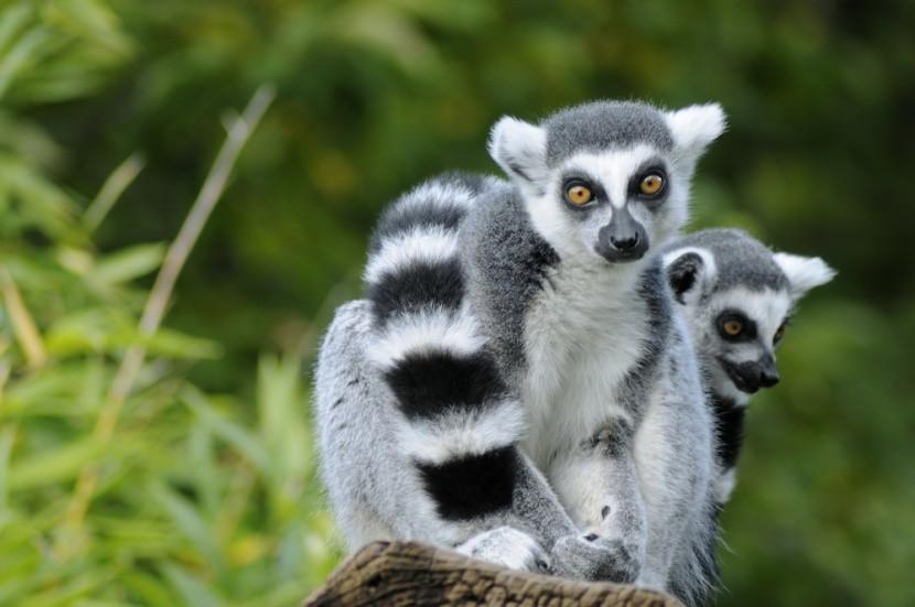 Lemur na Madagaskaru