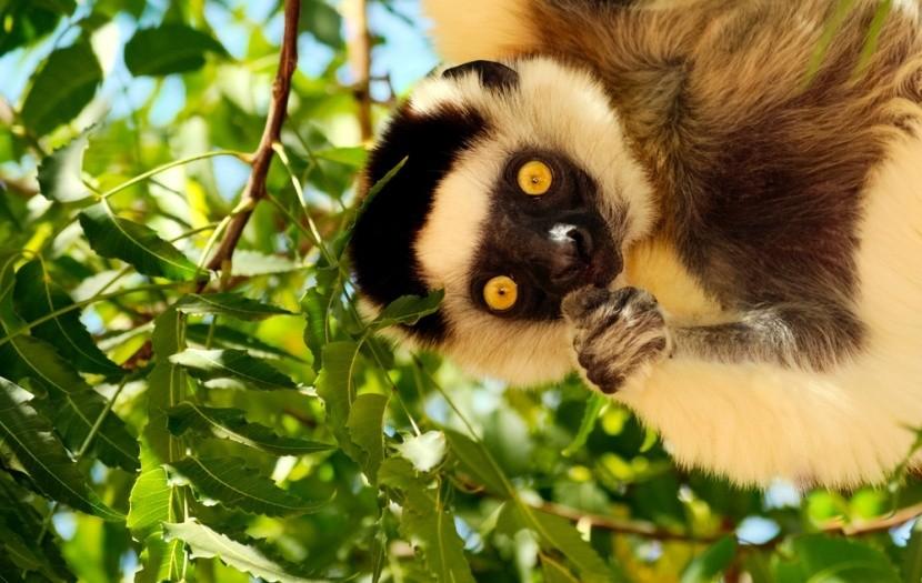 Tančící lemur z Madagaskaru