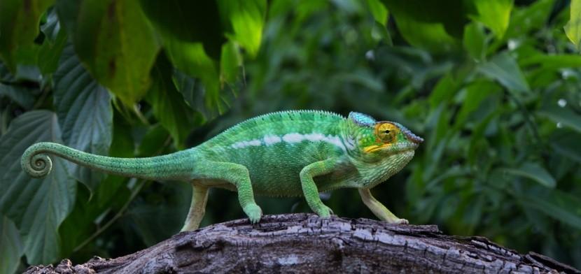 Chameleon v džungli, Madagaskar